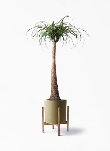 観葉植物 トックリラン ポニーテール 8号 ホルスト シリンダー オリーブ ウッドポットスタンド付き