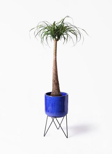 観葉植物 トックリラン ポニーテール 8号 ビトロ エンデカ 鉢カバースタンド付 ブルー 付き