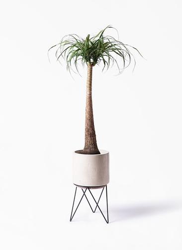 観葉植物 トックリラン ポニーテール 8号 ビトロ エンデカ 鉢カバースタンド付 クリーム 付き