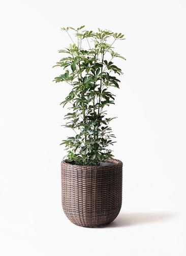 観葉植物 カポック(シェフレラ) 8号 ノーマル ウィッカーポット エッグ NT 茶 付き