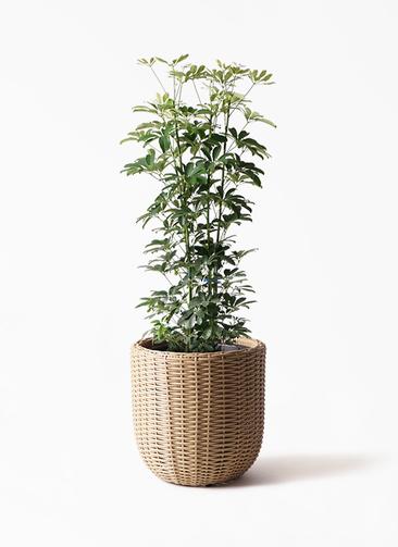 観葉植物 カポック(シェフレラ) 8号 ノーマル ウィッカーポット エッグ NT ベージュ 付き
