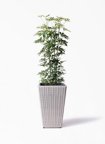 観葉植物 カポック(シェフレラ) 8号 ノーマル ウィッカーポット スクエアロング OT 白 付き