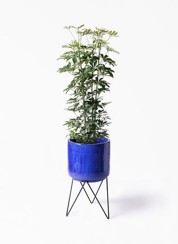 観葉植物 カポック(シェフレラ) 8号 ノーマル ビトロ エンデカ 鉢カバースタンド付 ブルー 付き
