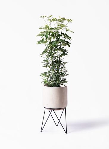 観葉植物 カポック(シェフレラ) 8号 ノーマル ビトロ エンデカ 鉢カバースタンド付 クリーム 付き