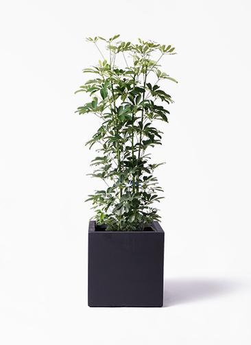 観葉植物 カポック(シェフレラ) 8号 ノーマル ベータ キューブプランター 黒 付き