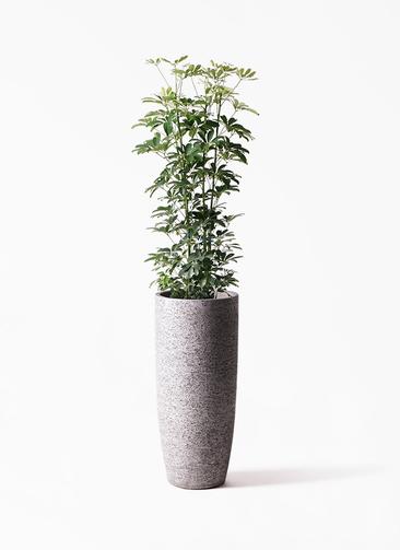 観葉植物 カポック(シェフレラ) 8号 ノーマル エコストーントールタイプ Gray 付き