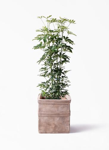 観葉植物 カポック(シェフレラ) 8号 ノーマル テラアストラ カペラキュビ 赤茶色 付き