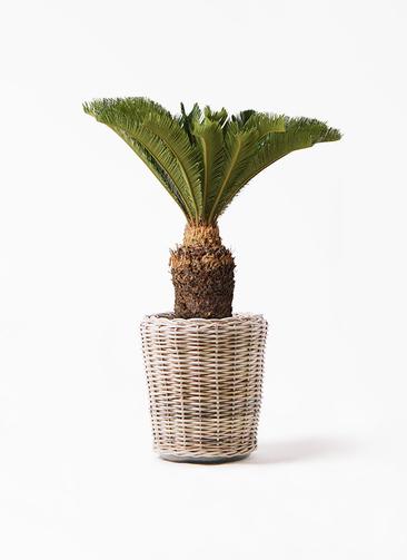 観葉植物 ソテツ 10号 モンデリック ラタン 付き
