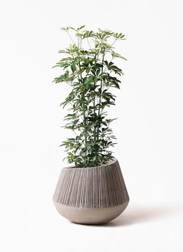 観葉植物 カポック(シェフレラ) 8号 ノーマル エディラウンド グレイ 付き
