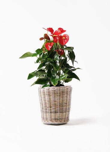 観葉植物 アンスリウム 10号 ダコタ モンデリック ラタン 付き