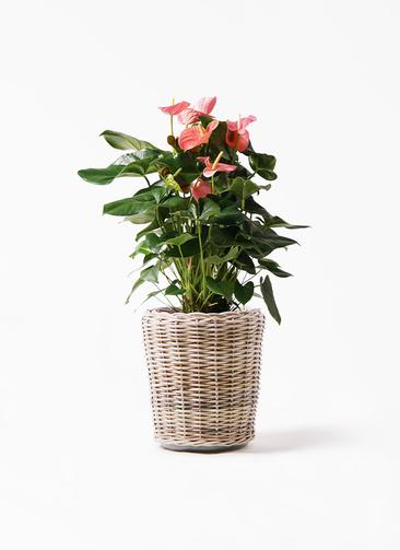 観葉植物 アンスリウム 10号 ピンクチャンピオン モンデリック ラタン 付き