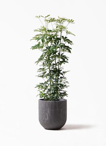 観葉植物 カポック(シェフレラ) 8号 ノーマル カルディナダークグレイ 付き