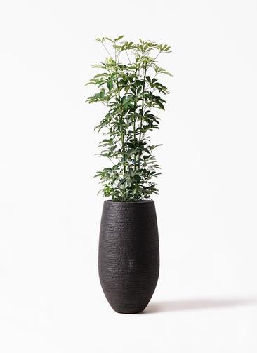 観葉植物 カポック(シェフレラ) 8号 ノーマル フォンティーヌトール 黒 付き