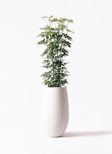 観葉植物 カポック(シェフレラ) 8号 ノーマル フォンティーヌトール 白 付き