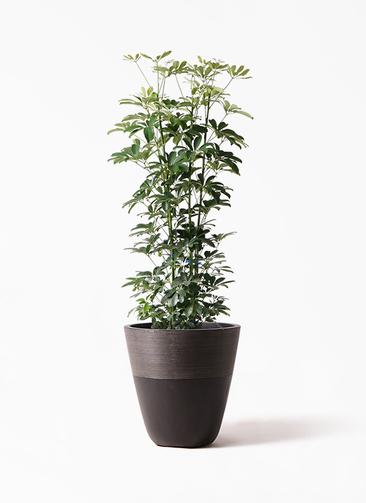観葉植物 カポック(シェフレラ) 8号 ノーマル ジュピター 黒 付き
