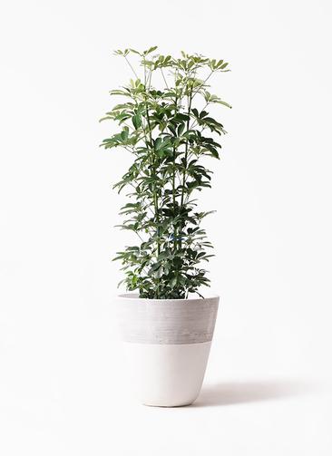 観葉植物 カポック(シェフレラ) 8号 ノーマル ジュピター 白 付き