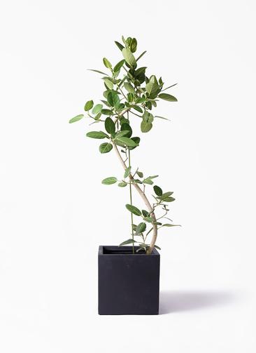 観葉植物 フィカス ベンガレンシス 10号 曲り ベータ キューブプランター 黒 付き