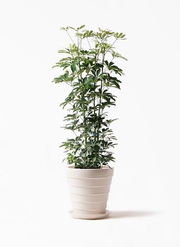 観葉植物 カポック(シェフレラ) 8号 ノーマル サバトリア 白 付き