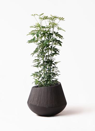 観葉植物 カポック(シェフレラ) 8号 ノーマル エディラウンド 黒 付き