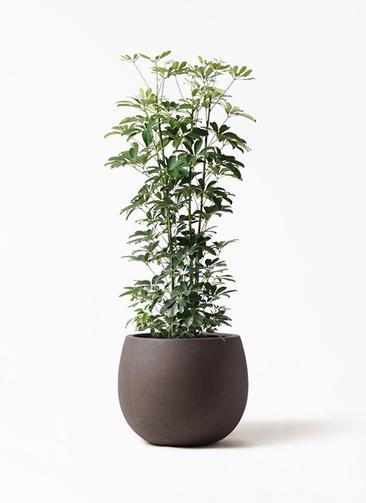 観葉植物 カポック(シェフレラ) 8号 ノーマル テラニアス ローバルーン アンティークブラウン 付き