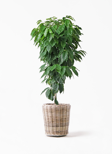 観葉植物 コーヒーの木 10号 モンデリック ラタン 付き