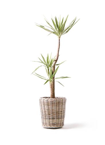 観葉植物 ユッカ 10号 斑入り モンデリック ラタン 付き