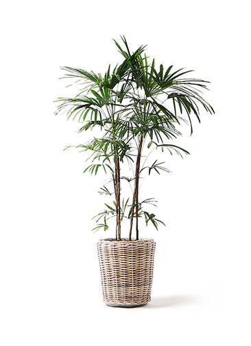 観葉植物 シュロチク(棕櫚竹) 10号 モンデリック ラタン 付き