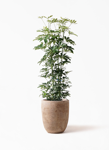 観葉植物 カポック(シェフレラ) 8号 ノーマル ルーガ アンティコ アルトエッグ 付き