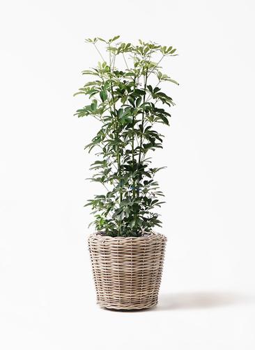 観葉植物 カポック(シェフレラ) 8号 ノーマル モンデリック ラタン 付き