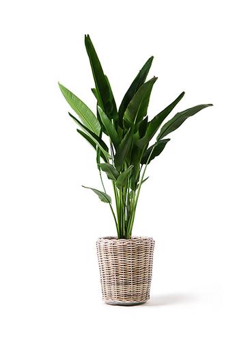観葉植物 旅人の木 10号 モンデリック ラタン 付き