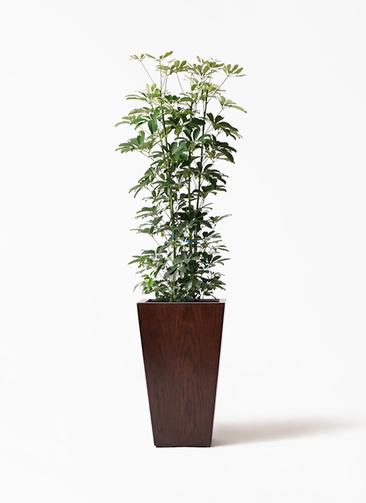 観葉植物 カポック(シェフレラ) 8号 ノーマル MOKU スクエア 付き