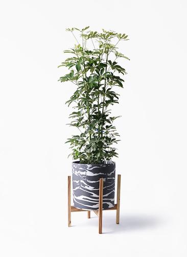 観葉植物 カポック(シェフレラ) 8号 ノーマル ホルスト シリンダー マーブル ウッドポットスタンド付き