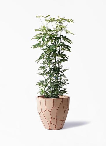 観葉植物 カポック(シェフレラ) 8号 ノーマル ウィスク 付き