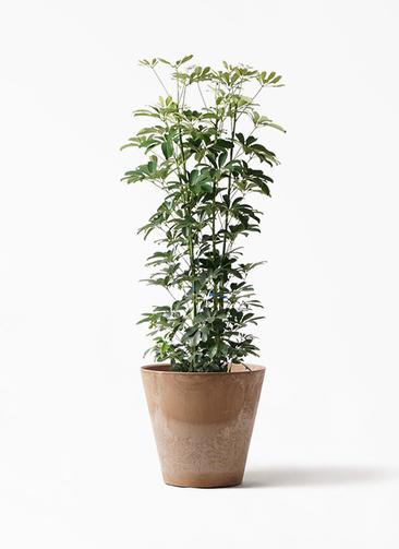 観葉植物 カポック(シェフレラ) 8号 ノーマル アートストーン ラウンド ベージュ 付き