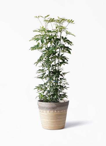 観葉植物 カポック(シェフレラ) 8号 ノーマル アルマ コニック 白 付き