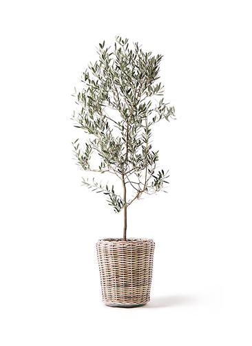 観葉植物 オリーブの木 10号 ミッション モンデリック ラタン 付き