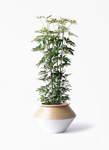 観葉植物 カポック(シェフレラ) 8号 ノーマル アルマジャー 白 付き