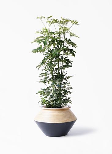 観葉植物 カポック(シェフレラ) 8号 ノーマル アルマジャー 黒 付き