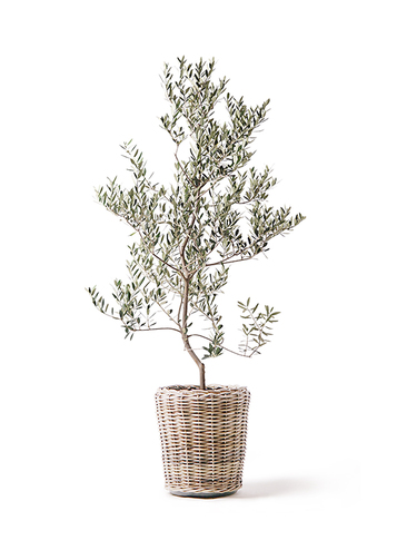 観葉植物 オリーブの木 10号 レッチーノ モンデリック ラタン 付き