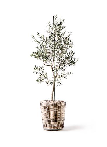 観葉植物 オリーブの木 10号 バルネア モンデリック ラタン 付き