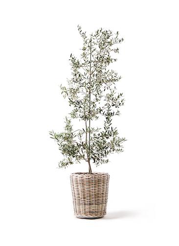観葉植物 オリーブの木 10号 アルベキーナ モンデリック ラタン 付き