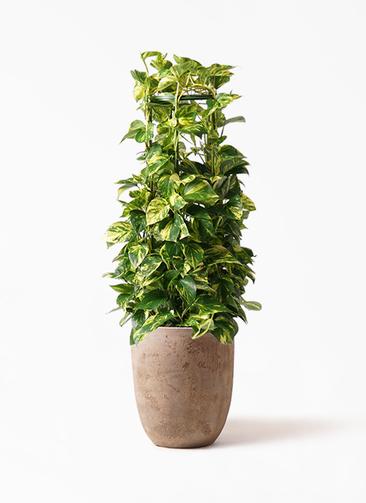 観葉植物 ポトス 8号 ルーガ アンティコ アルトエッグ 付き
