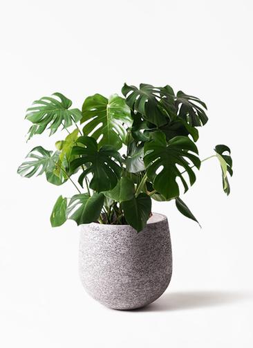 観葉植物 モンステラ 8号 ボサ造り エコストーンGray 付き
