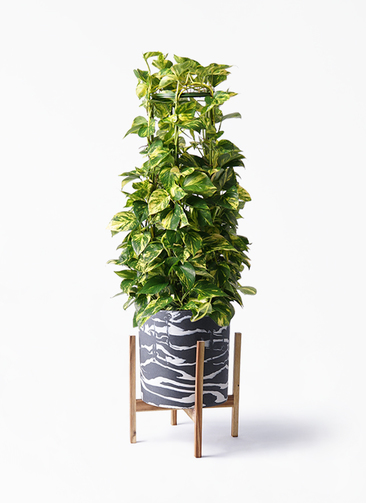 観葉植物 ポトス 8号 ホルスト シリンダー マーブル ウッドポットスタンド付き