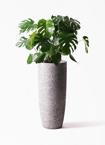 観葉植物 モンステラ 8号 ボサ造り エコストーントールタイプ Gray 付き