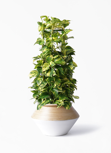 観葉植物 ポトス 8号 アルマジャー 白 付き