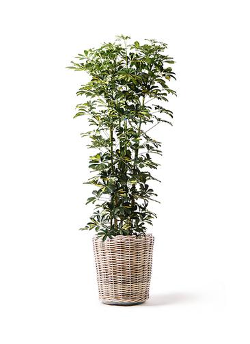 観葉植物 カポック(シェフレラ) 10号 斑入り モンデリック ラタン 付き