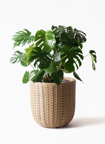 観葉植物 モンステラ 8号 ボサ造り ウィッカーポットエッグ ベージュ 付き