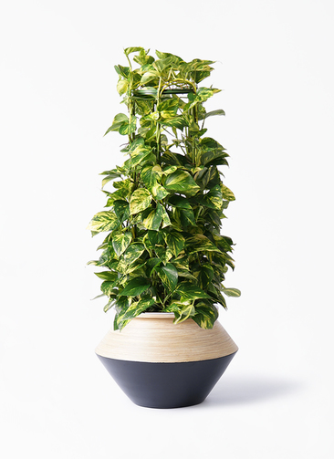 観葉植物 ポトス 8号 アルマジャー 黒 付き