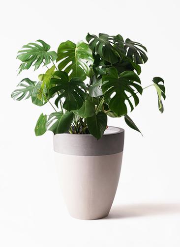 観葉植物 モンステラ 8号 ボサ造り ファイバーストーンカプリ サンディホワイト 付き